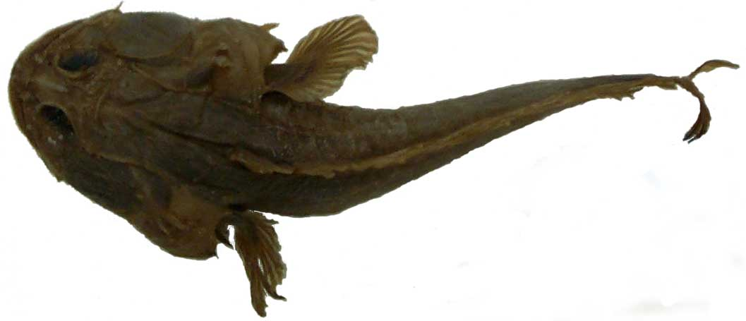 Batrachoididae